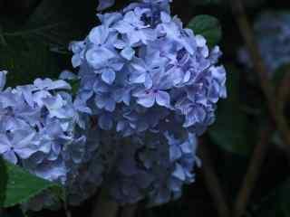 唯美小清新紫色绣球花桌面壁纸