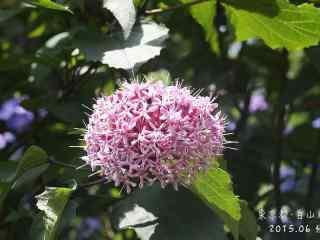 白山神社下的粉色绣球花桌面壁纸