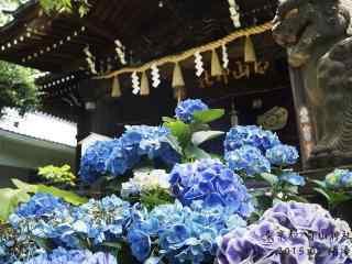 东京都白山神社里的绣球花桌面壁纸