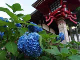 京都庙下的紫色绣球花桌面壁纸