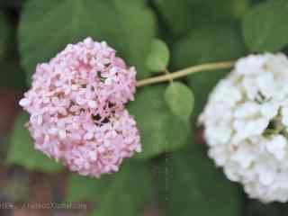 粉白色的绣球花桌面壁纸