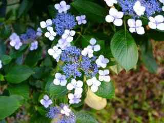 唯美小清新白紫色绣花球桌面壁纸
