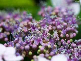 好看的紫色的绣球花桌面壁纸