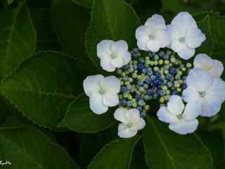 唯美小清新含苞待放的绣球花桌面壁纸