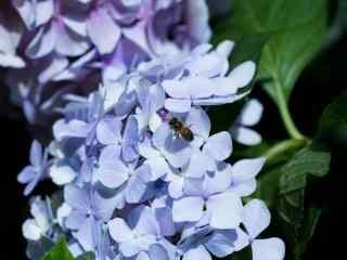 蜜蜂停留在绣球花上桌面壁纸