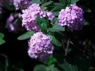 小清新好看的紫色绣球花桌面壁纸