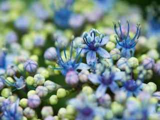 唯美含苞待放蓝色绣花球桌面壁纸