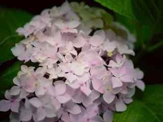 唯美粉色的绣球花桌面壁纸