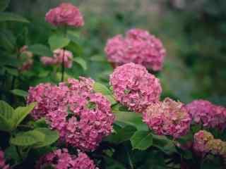满山遍野的粉色绣球花桌面壁纸