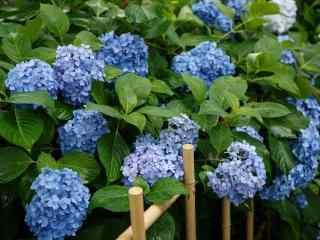 栅栏里面的蓝色绣花球桌面壁纸