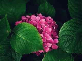 躲在绿叶间的绣花球桌面壁纸
