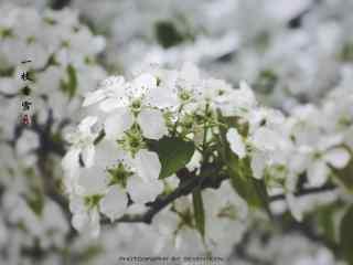 白色唯美的梨花桌