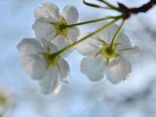 蓝天下的白梨花桌