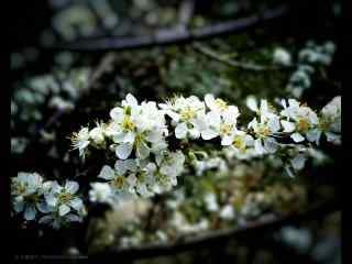 唯美好看的白梨花