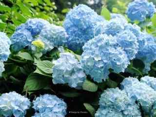 好看的蓝色绣球花