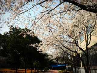 西府海棠花树桌面