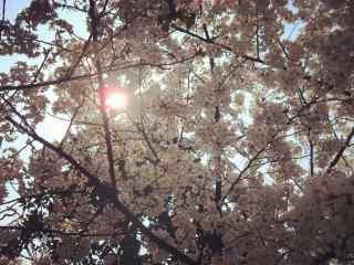 逆光的西府海棠花