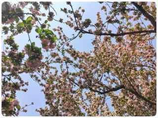 枝繁叶茂的西府海