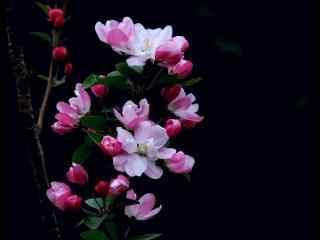 西府海棠花摄影高