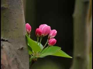 一束西府海棠花花