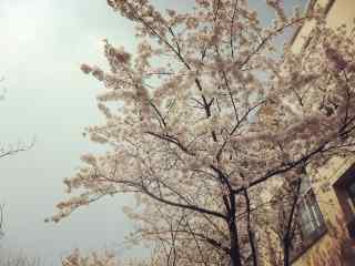 西府海棠花树高清