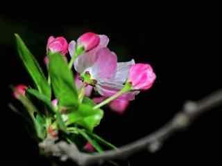 独特的西府海棠花