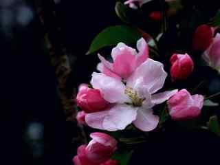 西府海棠花摄影桌