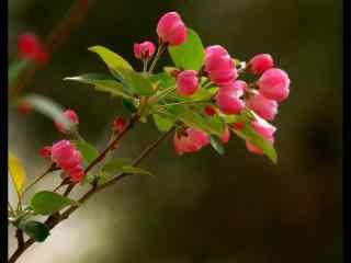 西府海棠花高清桌