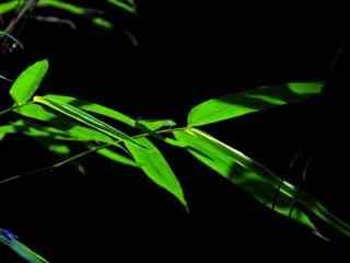 绿色竹叶摄影图片