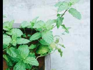 绿色护眼薄荷盆栽桌面壁纸