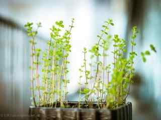 小清新好看的薄荷苗盆栽桌面壁纸