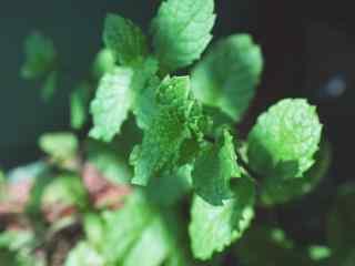 绿色小清新护眼薄荷叶桌面壁纸