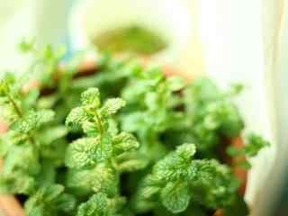 绿色护眼的薄荷盆栽桌面壁纸