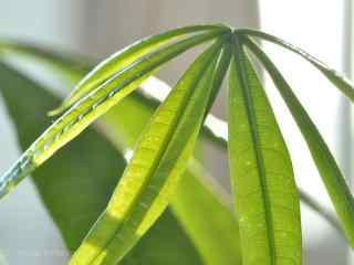 绿色小清新发财树叶子桌面壁纸