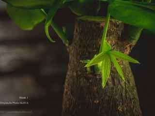 发财树上盛开的小嫩芽桌面壁纸