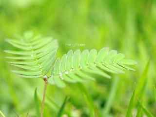 小清新绿色护眼含羞草桌面壁纸