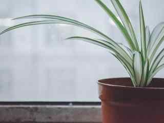 绿色植物盆栽吊兰桌面壁纸