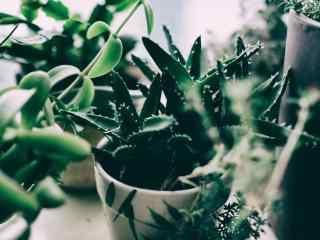 小清新绿色护眼芦荟桌面壁纸