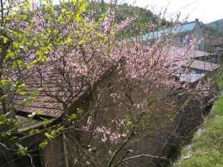 小清新桃花桌面壁
