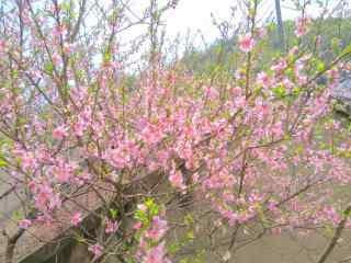 春日桃花唯美植物