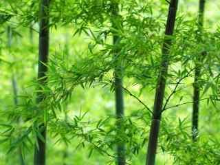唯美绿色竹子桌面