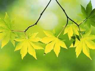 清新绿色枫叶桌面壁纸