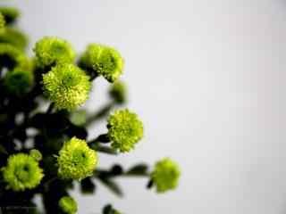 盛开的绿色小雏菊