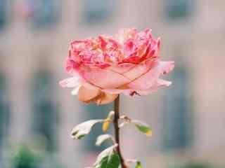 玫瑰唯美系清新摄