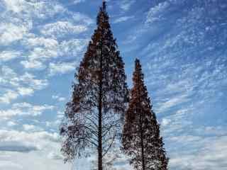 唯美高耸入云的松树桌面壁纸
