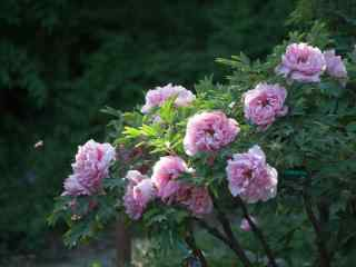 谷雨习俗-赏牡丹花群壁纸
