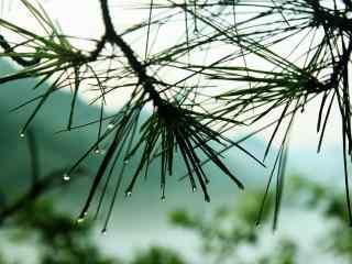 绿色小清新绿色护眼松针桌面壁纸