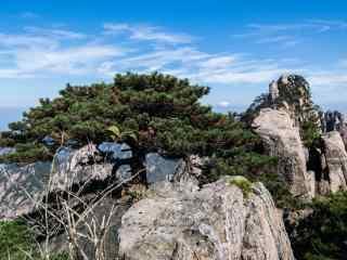 黄山悬崖峭壁上的松树桌面壁纸