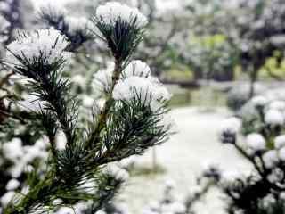 大雪积压在松树上桌面壁纸