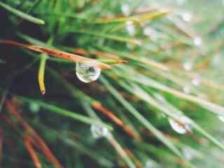 小清新雨水拍打在松树针桌面壁纸